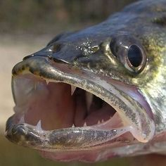 Walleye Fishing Tips - Do you want to catch more walleye? Get tips, tricks and techniques on how to catch walleye
