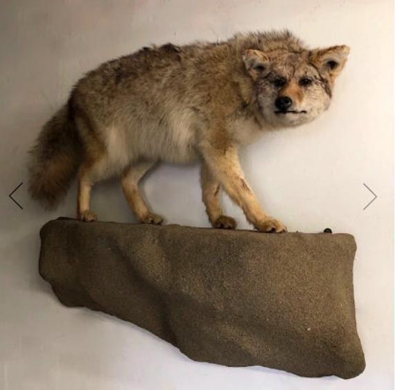 Wall Hanging Hls Coyote Taxidermy Decor Taxidermy Mounts Taxidermy