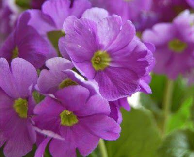 Delicadas flores de prímula - Delicate primrose flowers
