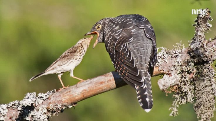 meadow pipit mother feeding her forcibly adopted cuckoo chick. click through for an interesting article (in Norwegian)