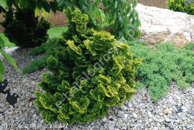 cyprysik tępołuskowy 'Nana Aurea' - Chamaecyparis obtusa 'Nana Aurea' | Katalog roślin - e-katalog roślin