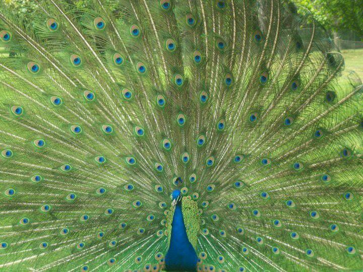 #peacock #mexico #museo #green