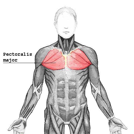 Eine starke Brust ist der Traum vieler Männer. Welche Muskeln gibt es in der Brust? Welche häufigen Fehler passieren beim Training? Mit welchen Übung baust du eine muskulöse Brustmuskulatur auf? All das erfährst du im Artikel.