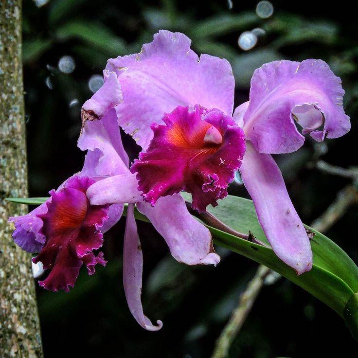 """""""Não procuro razões pra desprezar-te E lá no fundo quero te ver feliz. Sorria e faça tudo o que te passa pela cabeça Porém que nunca jamais esqueça O quanto eu te quis..."""" #jerryadriani #forcajerryadriani #forçajerryadriani  ________________________________  #dajfotos #nikon #flower #nature #flora #blooming #leaf #garden #floral #petal #branch #tropical #outdoors #beautiful #summer #husk #tree #growth #park #bomdia #goodmorning #orquideas #orchid #lilas #purple #lilac"""