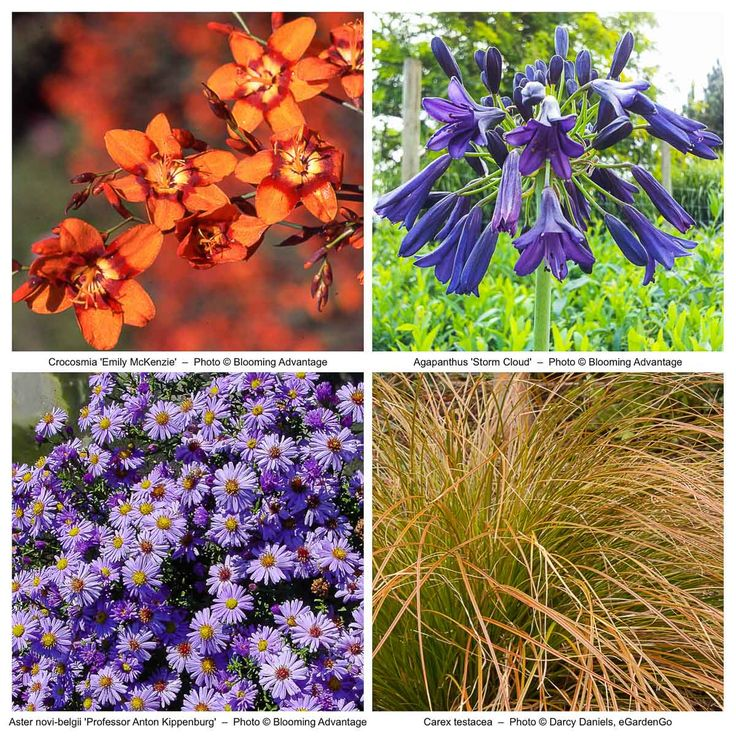 This vivid, yet harmonious perennial planting scheme is for the color lovers with its classic complementary color palette of orange and blue. The bright and showy Crocosmia 'Emily McKenzie' coupled with the coppertone Carex testacea play for orange, while the blue team is represented by the deep blue-violet orbs of Agapanthus 'Storm Cloud' and mounds of late-summer daisy-shaped blooms of the New England Aster. The sun-loving planting combination blooms from summer into fall an...