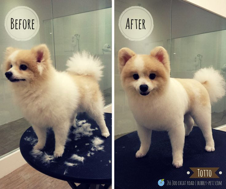 pomeranian haircuts styles best 25 pomeranian haircut ideas on 2516
