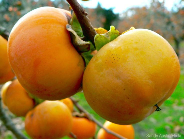 4 Orchard Fruits You Never Thought to Grow - Photo courtesy Sandy Austin/Flickr (HobbyFarms.com)