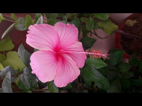 How to Get More Flowers in Hibiscus / Gudhal / China Rose || 16 Aug, 2017 - YouTube