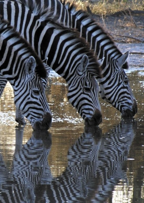 AFFORDABLE 6 DAY KRUGER PARK & SABI SANDS SAFARI by road  http://www.africanwelcome.com/tours-and-safaris-south-africa-botswana-namibia-vicfalls/package-holidays-and-tours/affordable-6day-kruger-national-park-package