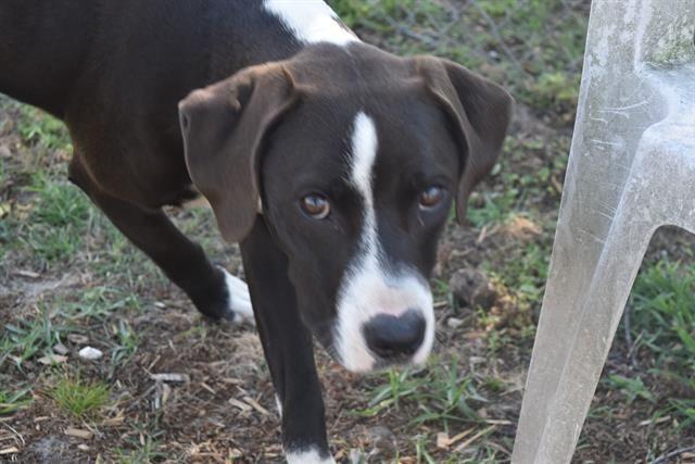 Adopt Cynder On Great Dane Mix Adoption Dogs