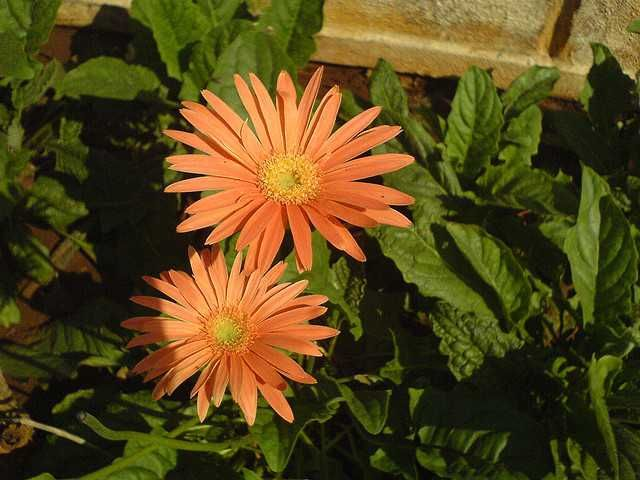 How to care, repot, propagate, cultivate, germinate, feed, water and more information about Gerbera Jamesonii (Transvaal Daisy).