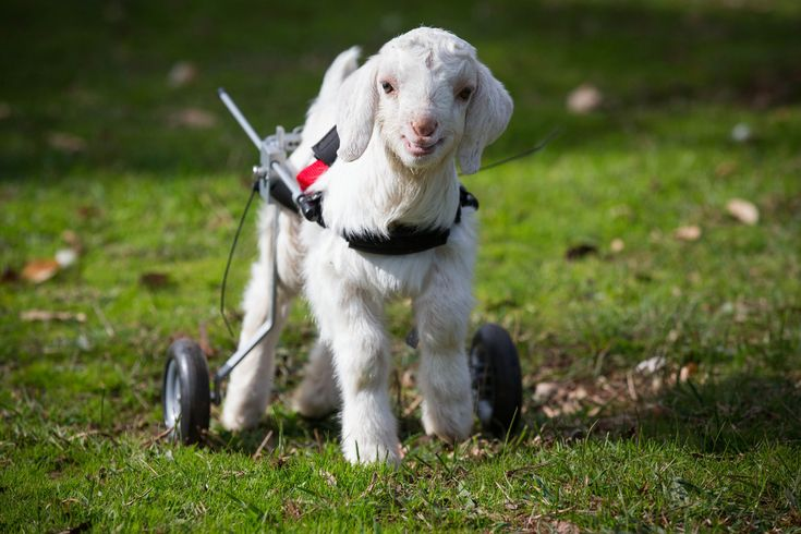 Frosty the baby snow goat.