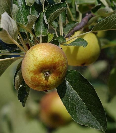 The Roxbury Russet (also known as Leathercoat due to it's tough skin) is America's oldest cultivated apple variety. It was first grown in 1635 on a hill in Roxbury, MA, which was part of the Massachusetts Bay Colony. Roxbury Russets keep well and make wonderful cider.