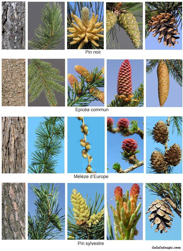 Les conifères de la forêt : le mélèze, l'épicéa, le pin noir, le pin sylvestre (4)