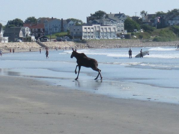 A surfing moose on York Beach, Maine