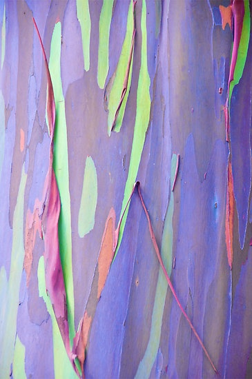 Rainbow Eucalyptus tree more commonly known as the Rainbow Gum by Cheryl Lund