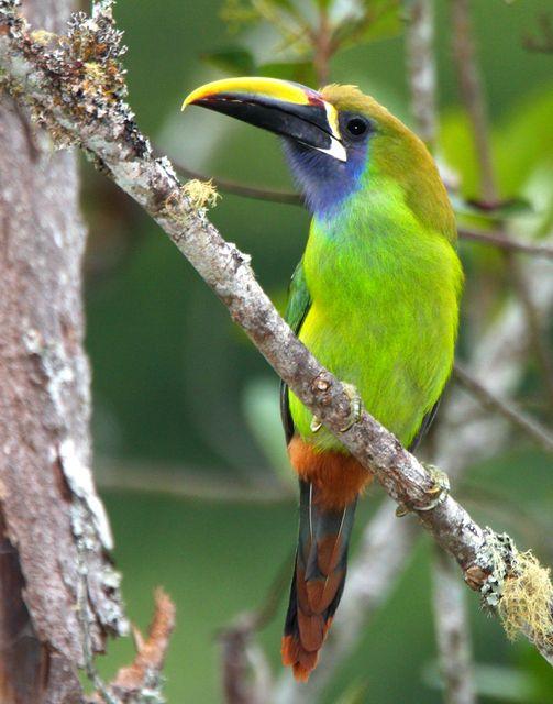 Emerald Toucanet (Aulacorhynchus prasinus)   Birds of the World   Pinterest   Emeralds, Bird and Parakeets