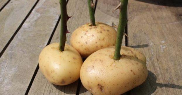 Sie steckt Rosenstiele in die Kartoffeln. 14 Tage später traut sie ihren Augen kaum.