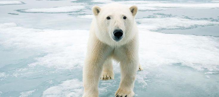 L'Artico si sta letteralmente fondendo sotto le zampe degli orsi polari e un'immensa porzione della banchisa scomparirà nei prossimi anni se non interveniamo subito. A causa della fusione dei ghiacci, gli orsi sono costretti a percorrere chilometri e chilometri, anche a nuoto, in cerca di cibo. Stremati dalla fame e dalla fatica, in molti non riescono a sopravvivere. Ci serve il tuo aiuto per salvarli http://www.wwf.it/orsobianco/