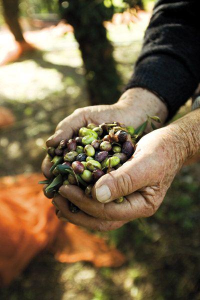 #olive #Liguria
