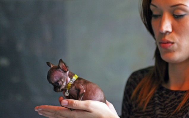 Milly - World's smallest dog