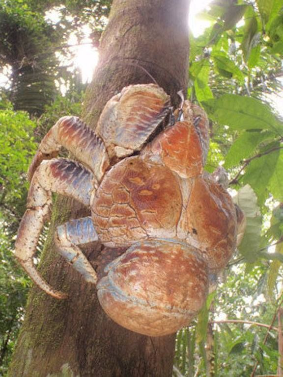 Coconut crabs live alone in underground burrows and rock crevices.