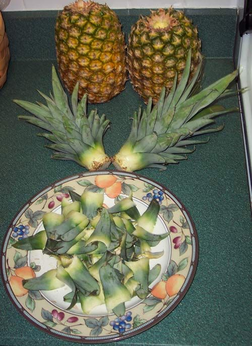 How to grow a pineapple from the core of the one you are eating...  If you'd like to learn how to grow a pineapple that will yield a sweet-tasting fruit, then you've come to the right place. This page is chock full of everything you need to know