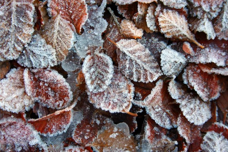 Chilesilvestre - hojas de Nothofagus - Magallanes. Fotografía: Daniel Gomez-Lobo Fehling
