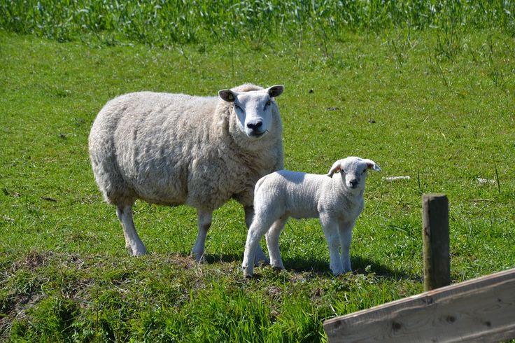 Zwykło się myśleć że czarna owca powoduje nieszczęście gromadzie, a także w przypadku ekologicznego wypasu. Bycie czarną owcą polega też na niedostosowaniu do panujących w danym miejscu zasad. Za czarną owcę da się być uznanym przez bliskich kiedy wykazuje się pewne ujemne cechy. Miano czarna owca jest więc niepożądane i trzeba się go unikać. powinno się więc pamiętać że czasem opinia taka może być niezasłużona.
