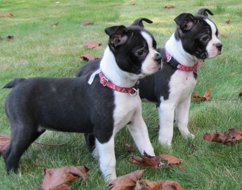 mini boxer - boxer and Boston terrier mix