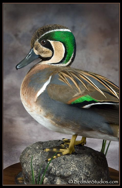 TEAL: A Baikal Teal duck. See that blue green beak? THAT is teal. And he'd know.