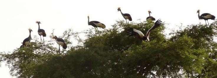 crested cranes ebbs