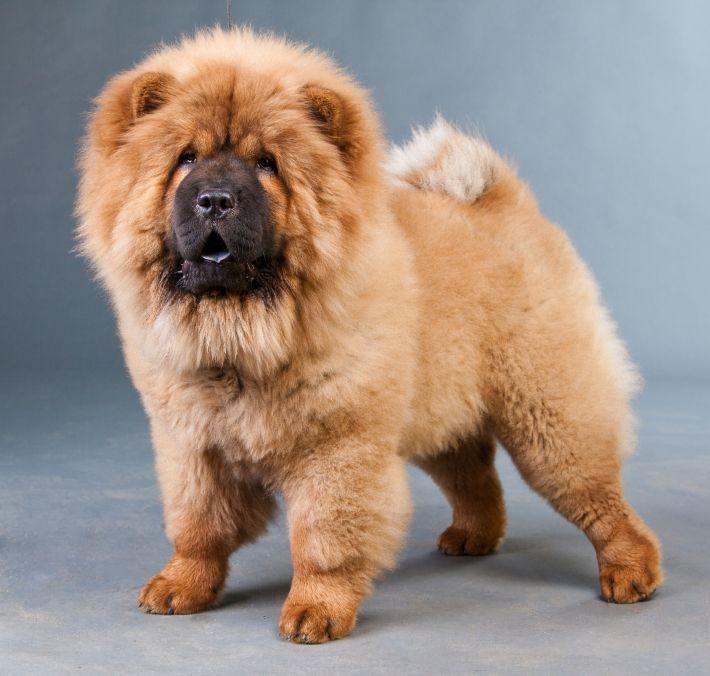Чау-чау выделяется среди других пород своей экзотической внешностью. Собака походкой и комплекцией похожа на медведя с львиной гривой. Плюс дополняет этот экзотический образ сине-черный язык.