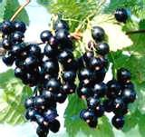 How to grow blackcurrants: A guide to choosing, planting, training and looking after blackcurrant Bushes
