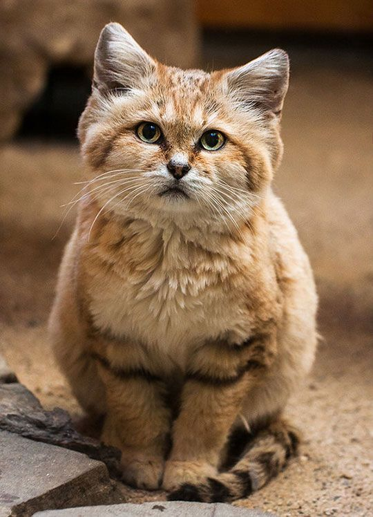"""Sand Cat From The Sahara Desert  -  Cute, right?  He'd be happy to show you the error of that thought.  A sand cat was the first cat I'd ever seen """"chattering"""" like cats do when they see birds.  Only this cat was looking at me at the time.  Hmmmmm.  I didn't miss that message."""