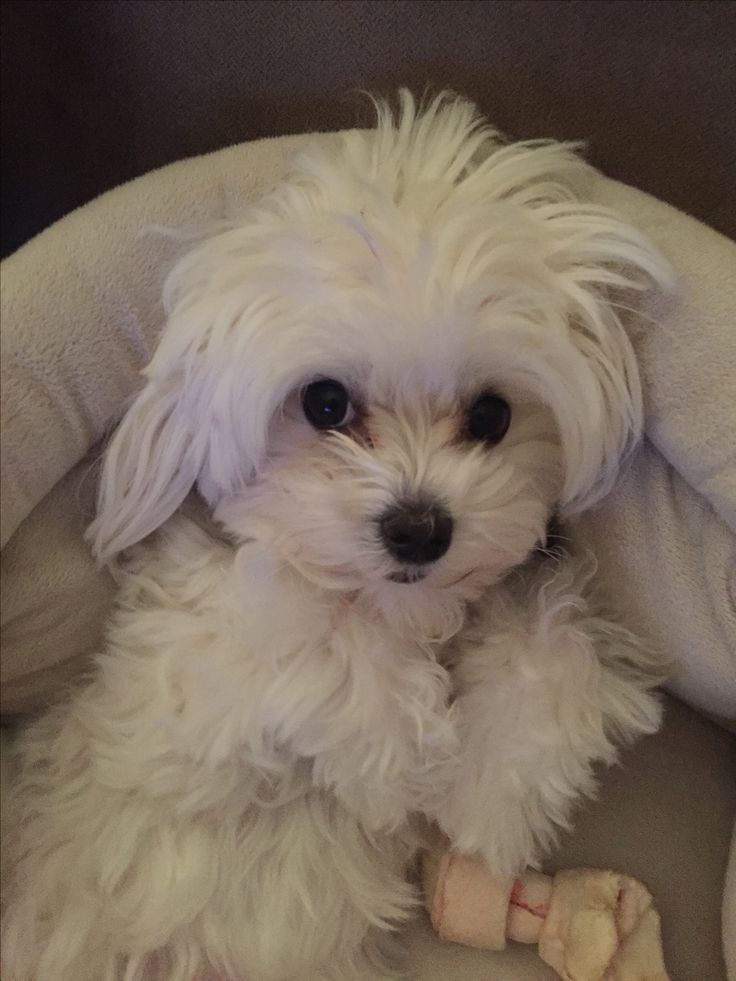 maltese havanese the 25 best maltese dogs ideas on pinterest maltese 2545