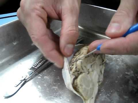 Barrett Dura Mater of Sheep Brain.AVI - YouTube