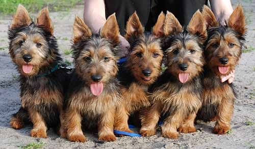 Australian Terrier - Puppies, Rescue, Pictures, Information ...