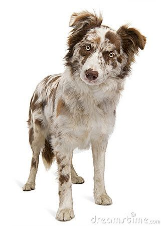 Red Merle Border Collie - 6 months old