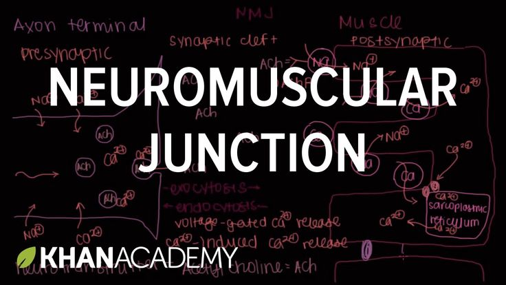 This video discusses the concept of the neuromuscular junction. This is the beginning of muscular contraction (the excitation steps) where ACh (acetylcholine) is the neurotransmitter of muscle contraction.
