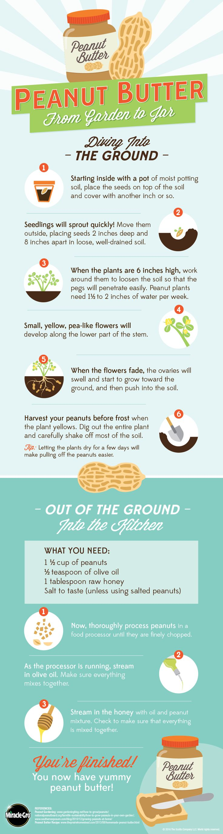 Learn how to grow peanuts to make your own yummy peanut butter.