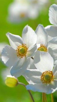 Wiosenne białe zawilce