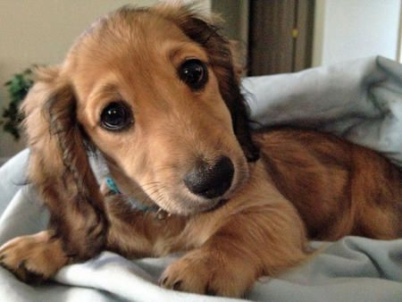 I want 1 :): Doggie, Longhair Dachshund, Doxi, Cutest Dogs, Dachshund Puppies, Pet, Puppies Eye, New Friends, Adorable Animal
