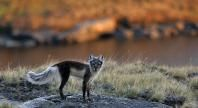Arctic Fox   Basic Facts About Arctic Foxes   Defenders of Wildlife
