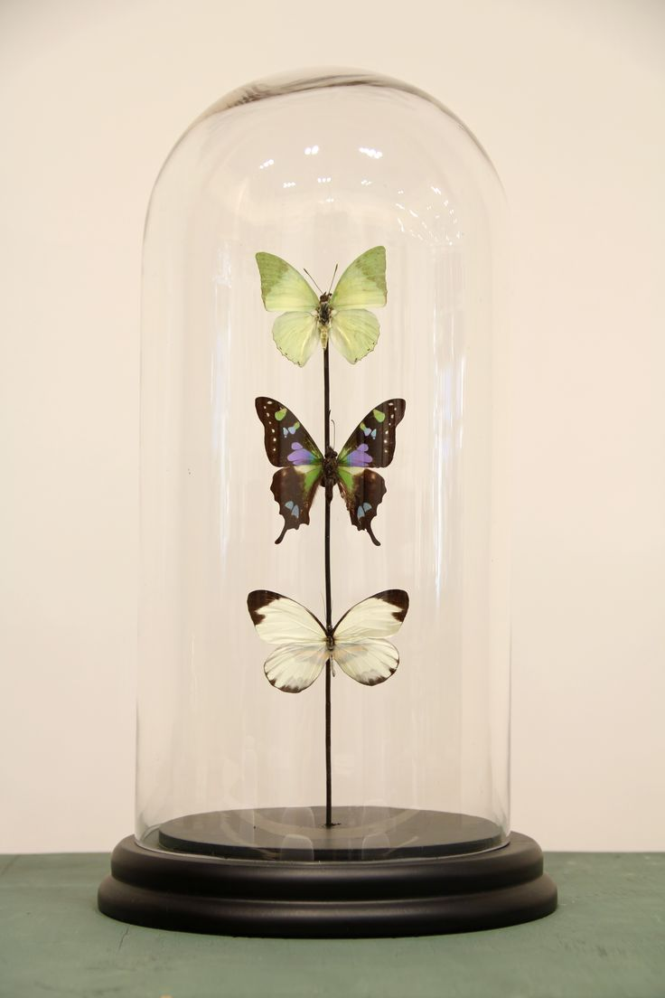 Glass dome with three butterflies