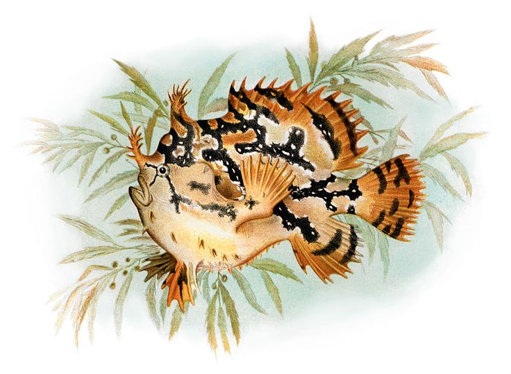The Sargassum fish has adapted to camouflage with Sargassum Seaweed while drifting in the Pelagic zones