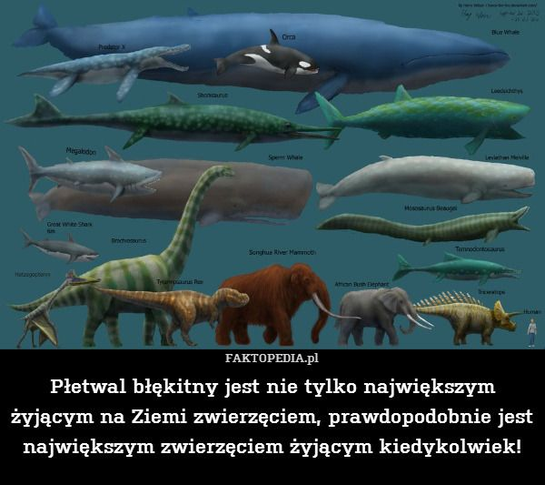 Płetwal błękitny jest nie tylko – Płetwal błękitny jest nie tylko największym żyjącym na Ziemi zwierzęciem, prawdopodobnie jest największym zwierzęciem żyjącym kiedykolwiek!
