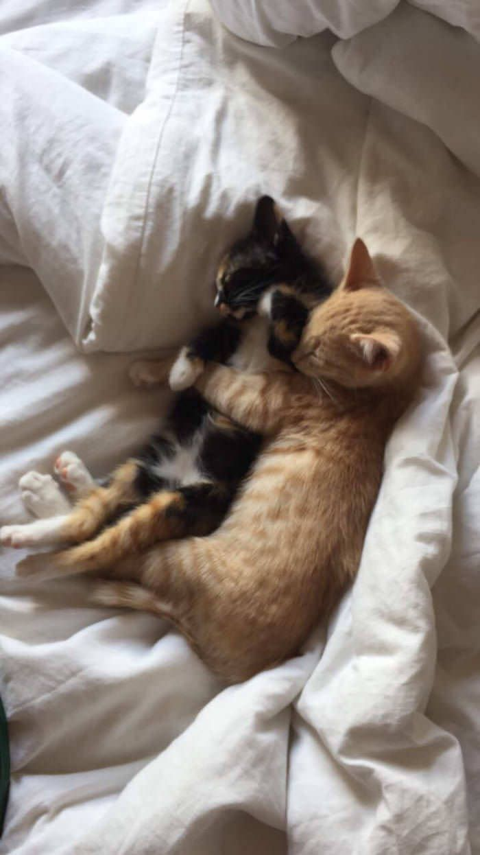 Https Strawberryappleorange Tumblr Com Post 168924554827 Cat Hug Animal Hugs Kittens Cutest Baby