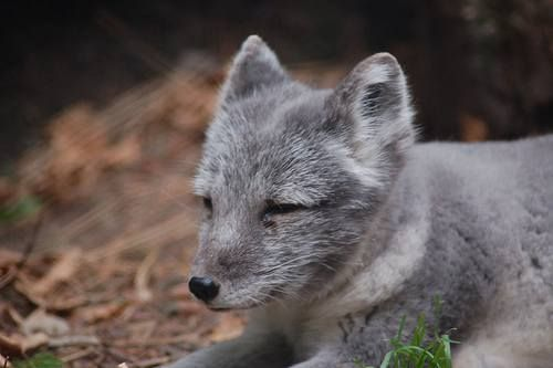 89 best Domesticated Fox ETC images on Pinterest | Foxes ...