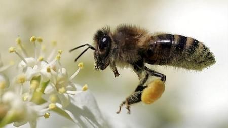 ¿Por qué los hongos podrían ser la solución para la frenar la extinción de las abejas?